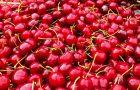 Ile można dostać za zbieranie wiśni latem? Ile można dostać z zbieranie innych owoców i warzyw?