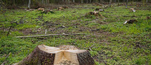 ścięte drzewa