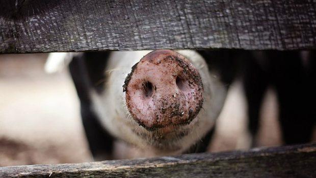 Świnia za ogrodzeniem
