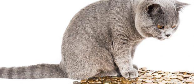 koszty-utrzymania-kota-brytyjskiego