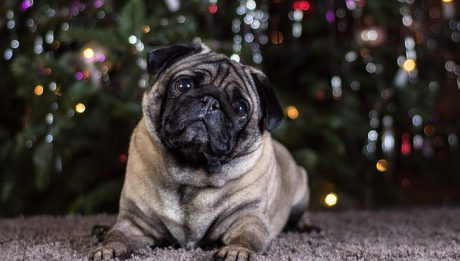 Ile kosztuje mops, ile kosztuje pies boo?
