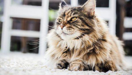Ile kosztuje kot perski? Ile kosztuje kot, a ile jego utrzymanie?