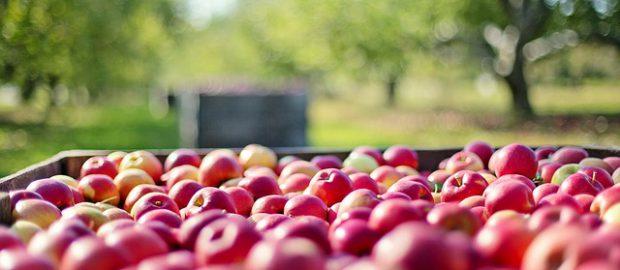dużo jabłek