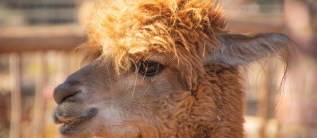brązowa alpaka