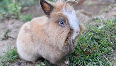 Ile kosztuje królik? Jakie są koszty utrzymania królika?