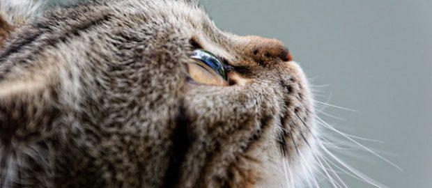 prążkowany kot